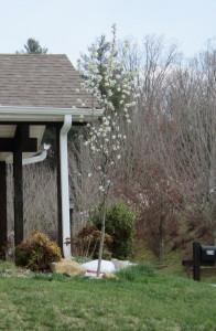 Plum tree blooms