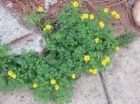 Favorite yellow weeds