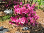 Encore Azalea-Pink