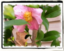 picture of Pink Winter Camellia