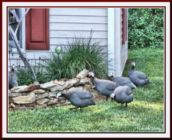 picture of 6 Guinea Hens  ( the 6th is located in the far left of the picture)